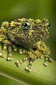 Vietnanmese Mossy Frog on a stem