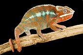 Panther Chameleon on a branch on black background
