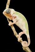 Young Yemeni Chameleon 'Piedbald' on black background