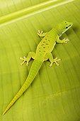 Madagascar Giant Day Gecko on a leaf