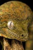 Portrait of Mossy Giant Gecko on black background