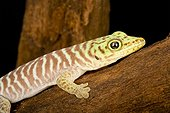 Banded Day Gecko on a branch on black background