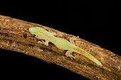Madagascar day gecko on a branch on black background