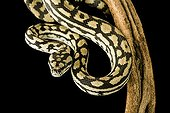 Carpet Python on a branch on black background ; Native to Australia and Papua