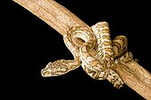 Coastal Carpet Python 'Caramel' on a branch ; Native to Australia and Papua