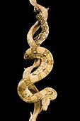 Boa constrictor along a liane on a black background