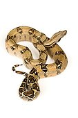 Boa constrictor on white background