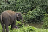 Sumatran Elephant and young on the bank - Aceh Sumatra  ; The main mission of CRU is mediating conflicts between wild elephants and communities. Fauna and Flora International project