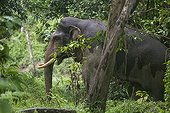 Sumatran elephant in musth male forest - Aceh Sumatra  ; The main mission of CRU is mediating conflicts between wild elephants and communities. Fauna and Flora International project
