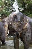 Sumatran elephant playing in the water - Aceh Sumatra ; The main mission of CRU is mediating conflicts between wild elephants and communities. Fauna and Flora International project