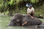 Mahout and Elephant bath Sumatra Aceh Sumatra  ; The main mission of CRU is mediating conflicts between wild elephants and communities. Fauna and Flora International project