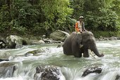 Sumatran elephant mahout on crossing a river - Sumatra ; The main mission of CRU is mediating conflicts between wild elephants and communities. Fauna and Flora International project