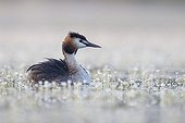Great Crested Grebe swimming among flowers at spring - GB