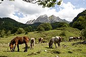Horses in semi freedom in Pyrenees mountains - France