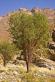 Brandberg acacias in the Namib Desert in Namibia