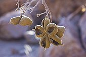Fruits of a tree in the Brandberg mountains - Namibia