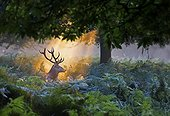 Stag Red Deer illuminated by the first rays of the sun - GB