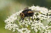 Tachinaire corpulente sur fleurs - Fensmark Skov  Danemark