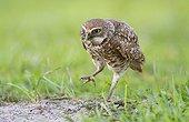Burrowing Owl with a frog leg in beak - Florida USA