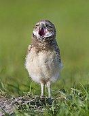 Young Burrowing Owl yawning - Florida USA
