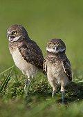 Young Burrowing Owls outside burrow - Florida USA
