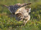 Young Burrowing Owl stretching wings - Florida USA