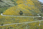 Broom in bloom - PNR Monts d'Ardèche France ; Genets colonizing old fields that are no longer used.