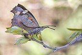 Nettle-tree Butterfly - Serra da Enciña da Lastra  Spain