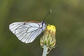 Black-veined White on a flower - Serra do Courel Spain