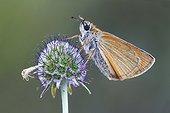 Small Skipper on a flower  - Serra do Courel Spain