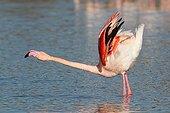 Greater Flamingo displaying - Camargue