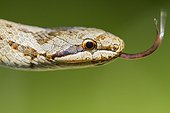Portrait of a Smooth Snake tongue out - Alsace France