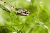 Smooth Snake in vegetation - Alsace France
