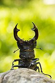 Stag Beetle male in defense posture - France