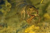 Diving Beetle captured by a Diving Beetle - Prairie Fouzon