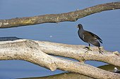 Moorhen on the side of a pond