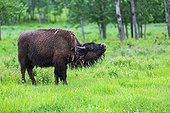 America Bison female in grass - Elk Island Canada