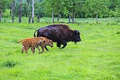 America Bison female and calves in grass - Elk Island Canada