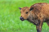 Portrait of America Bison calf in grass - Elk Island Canada