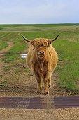 Highland cow and anti-livestock fence - Alberta Canada