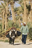 Harvest ripe dates in a palm grove - Tafilalt Morocco ; Palmeries of Rissani