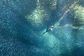 Brandt's Cormorant chasing fish - Pacific Ocean