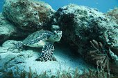 Hawksbill turtle in the reef