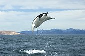 Mobula Ray leaping out of the water - Pacific Ocean