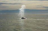 Baleine grise souflant en surface  - Océan Pacifique