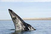 Baleine grise à la surface  - Océan Pacifique