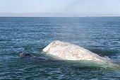 Baleine grise albinos et jeune à la surface