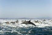 Dauphnis communs fuyant des Orques - Océan Pacifique