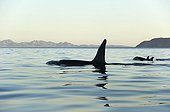 Killer Whales in a silky sea ; The tall fin of a male killer whale can be up to 2M high.