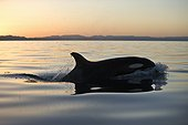 Killer Whales at sunset